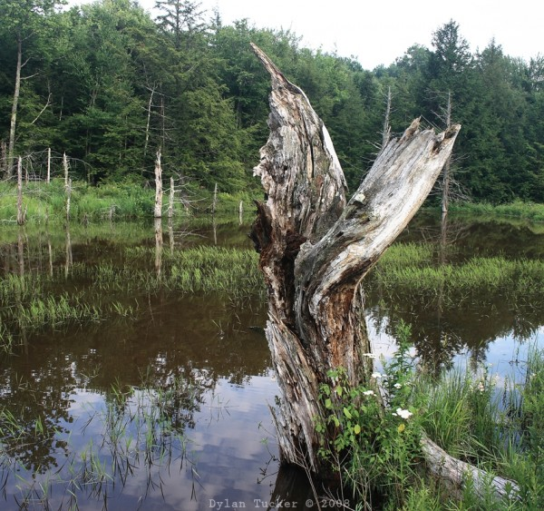 rotten tree in a beaver pond