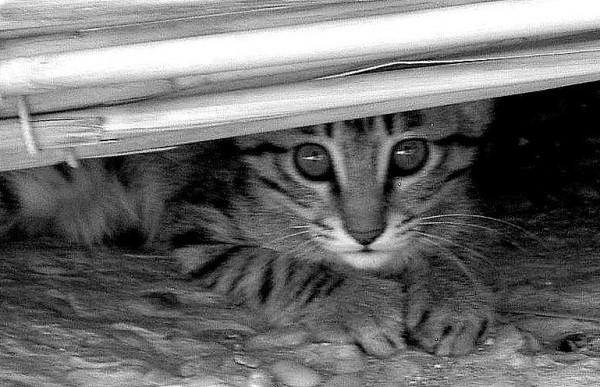 afghan cat