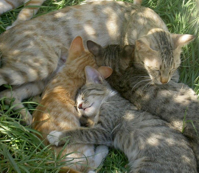 Afghan cat family
