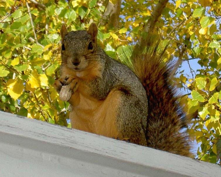 Colorado golden squirrel