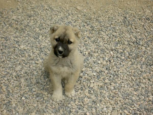 turkmen puppy