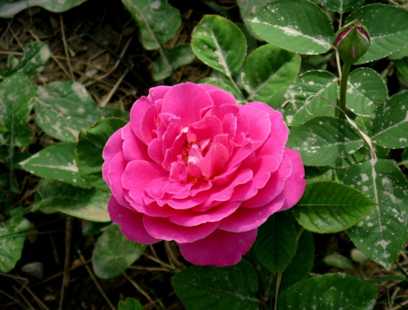 aqcha rose