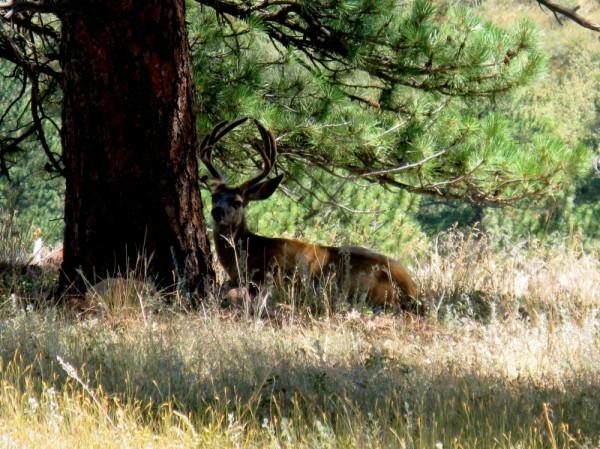 deer under tree