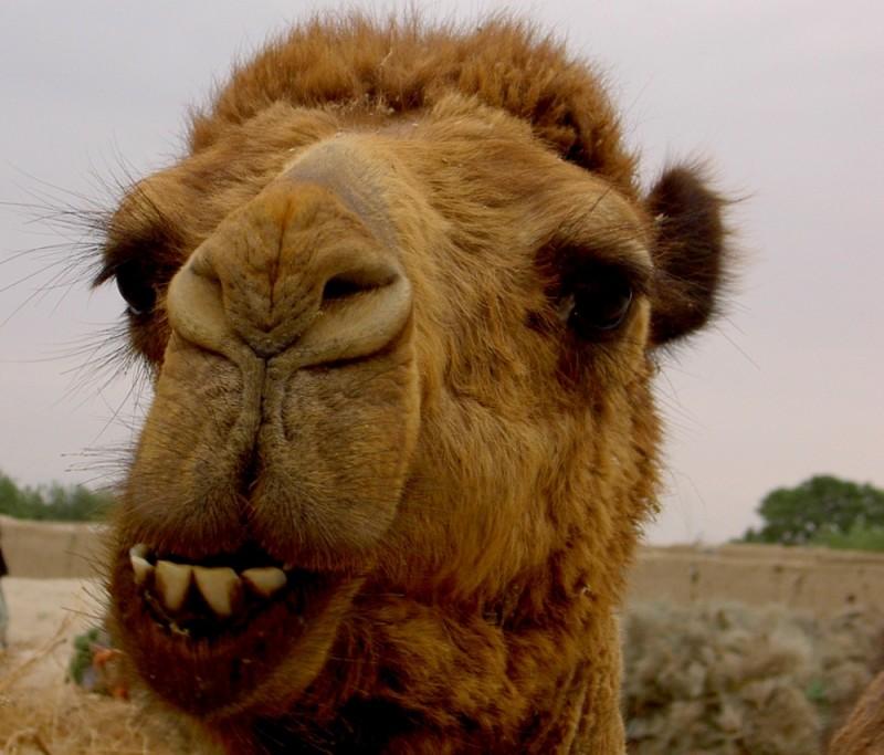 Afghan camel