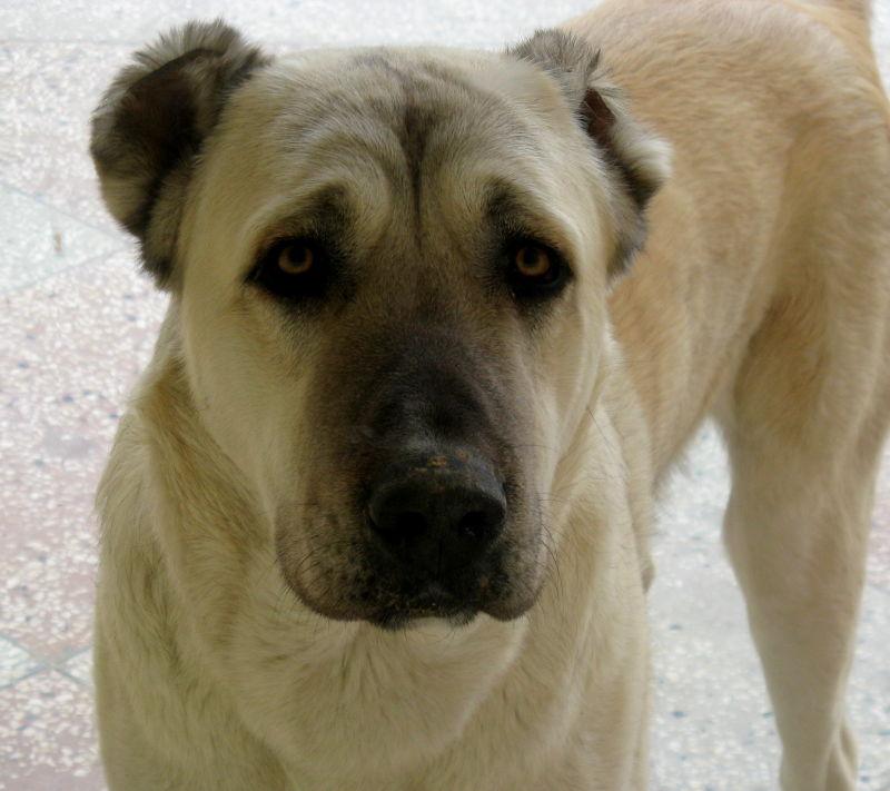 Turkmen sheepdog