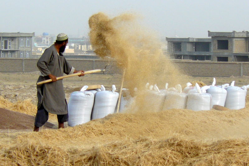 separating wheat from chaff, Afghan harvest.