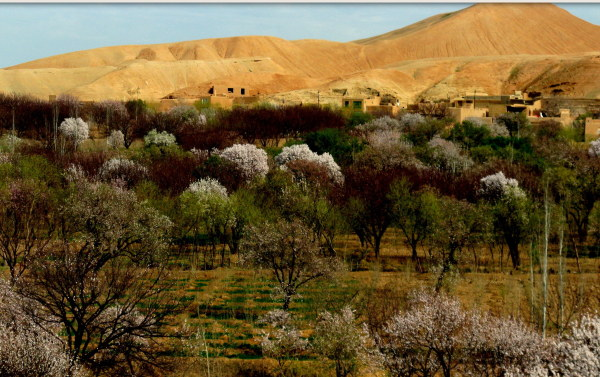 Afghan spring, almond tree blossoms