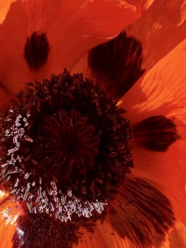 Inside of a poppy flower