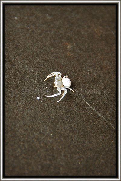 Albino Spider?