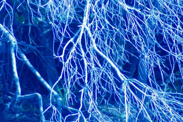 Everglade tangled branches in blue
