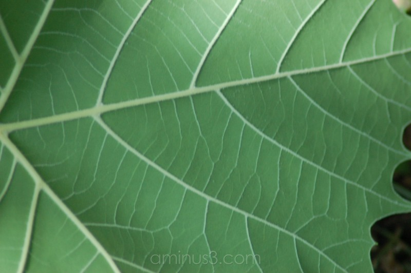 a green sycamore leaf