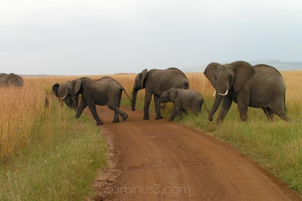 elephant herd crosses road