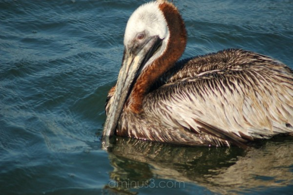 A pelican at the city pier