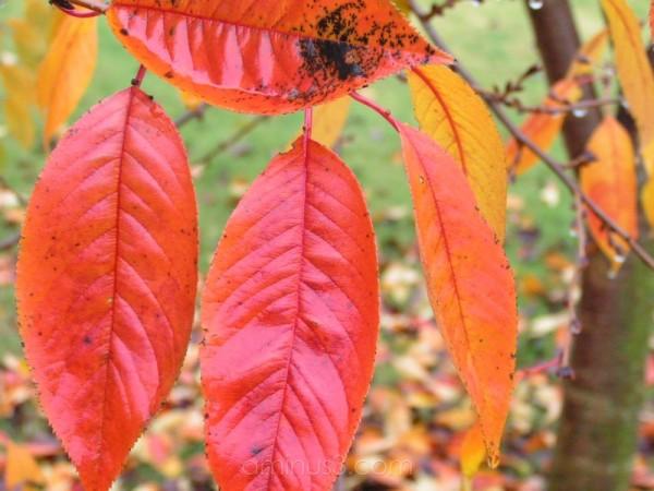 Some autumn leaf color