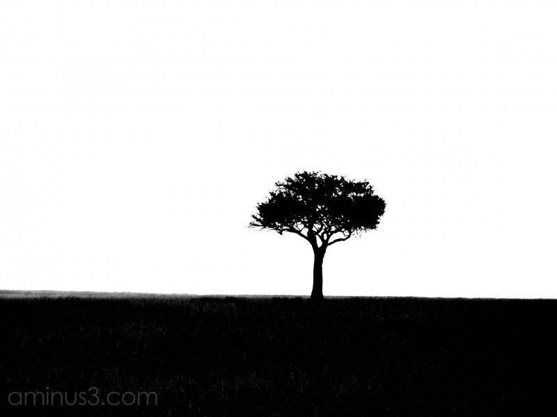 A Kenya acacia tree