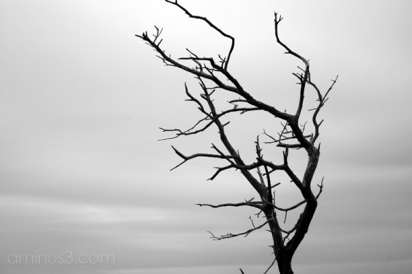 A dead tree in BW