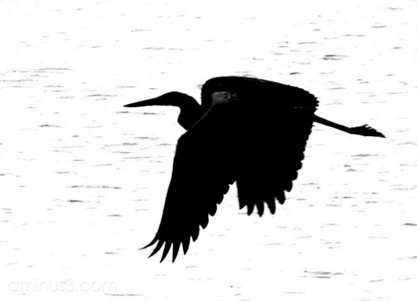 Hi-contrast bw heron in flight