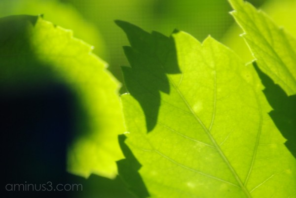 Hibiscus leaves in the sun