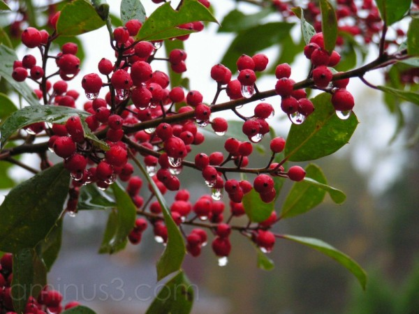 savannah holly berries