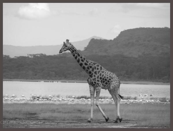 giraffe Kenya