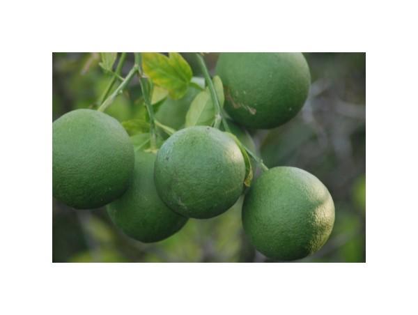 citrus green immature Panhandle
