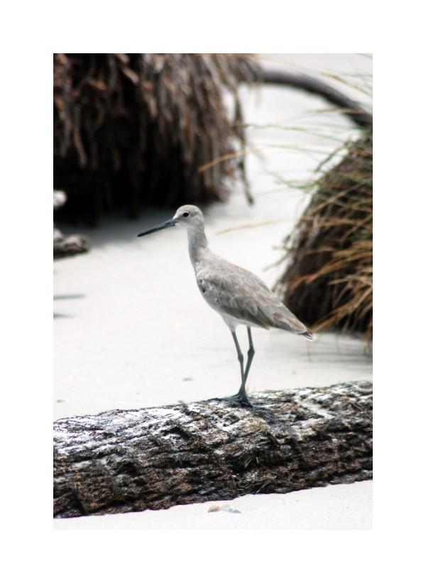 sandpiper shorebird