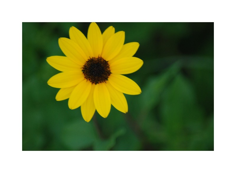 beach sunflower