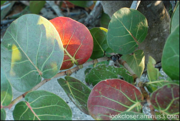seagrapes autumn