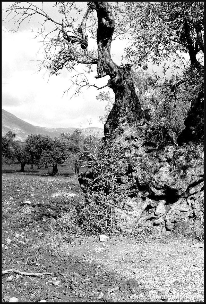 olive grove bw Israel