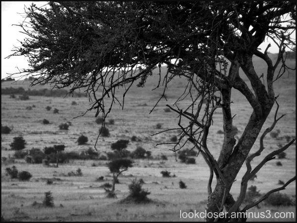 tree Kenya bw