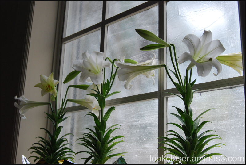 church Easter lilies