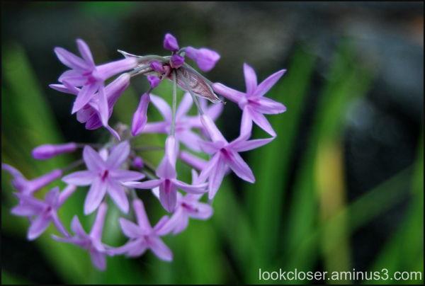 society garlic home purple