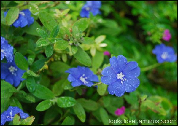 flower wet blue
