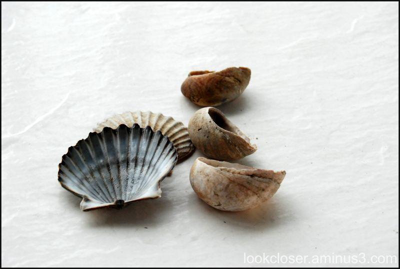 cape sea shells
