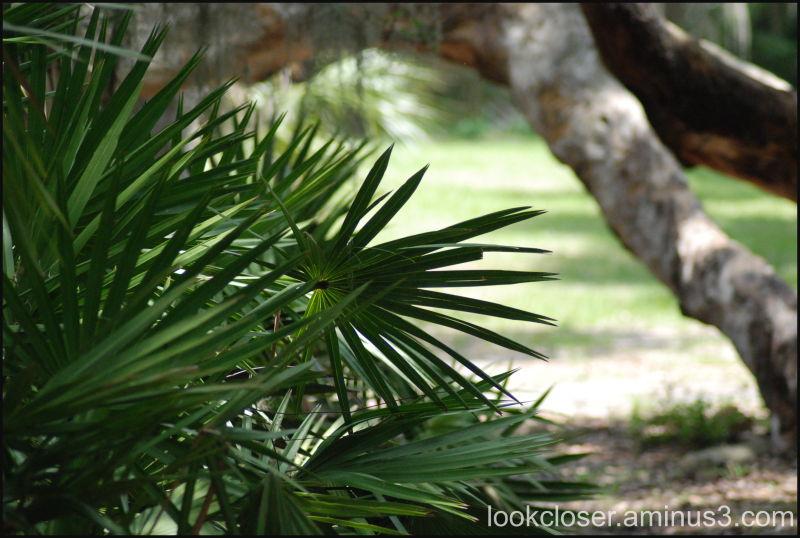 Myakka palmetto