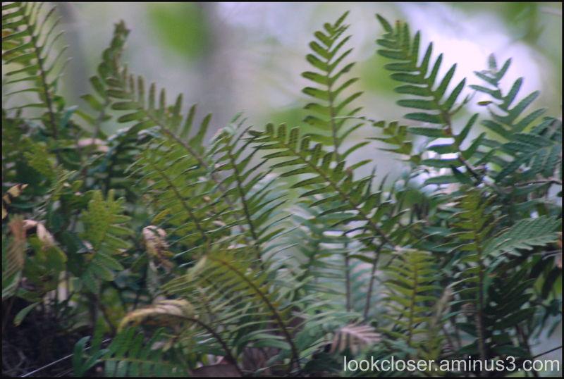 resurrection fern myakka