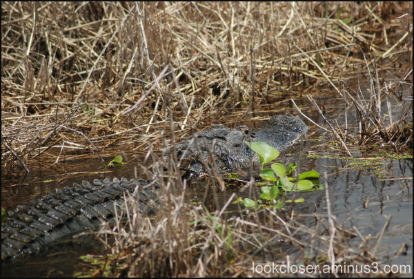 Myakka River alligator