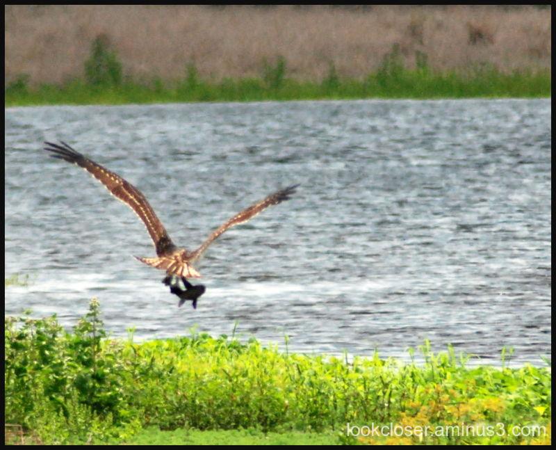 Myakka osprey