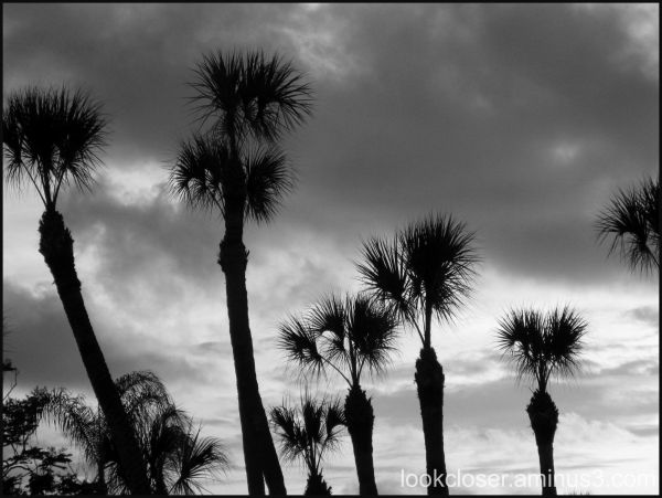 palms silhouettes bw