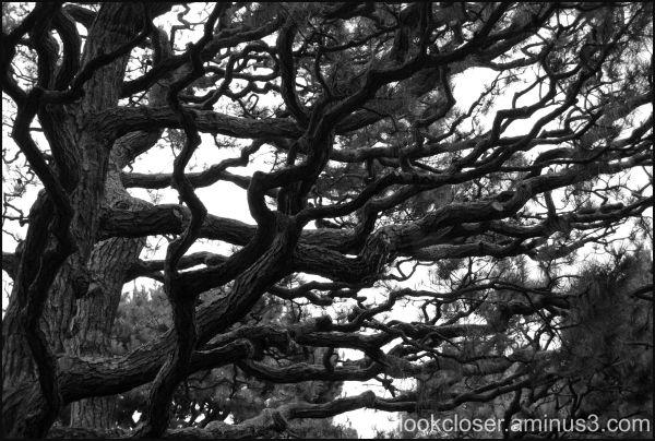 SF Tea Garden Pine BW