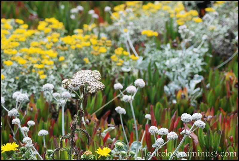 California Bodega Bay wildflowers