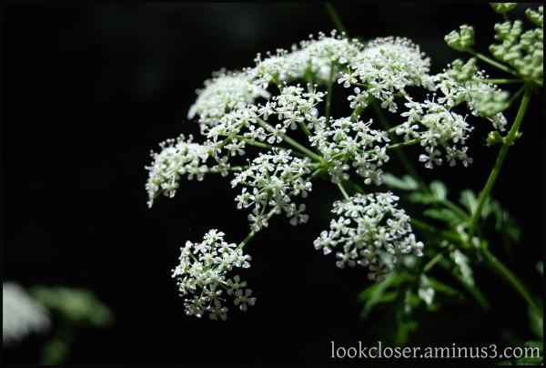 CA wildflowers