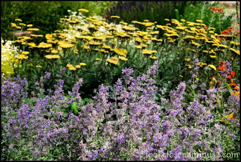 CA Bodega flowerbed purple gold