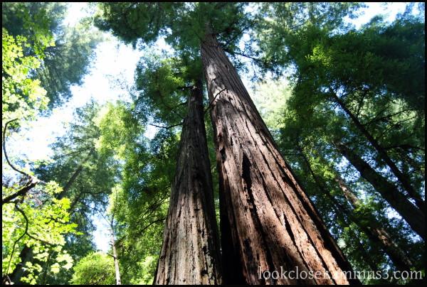 CA Sonoma redwoods