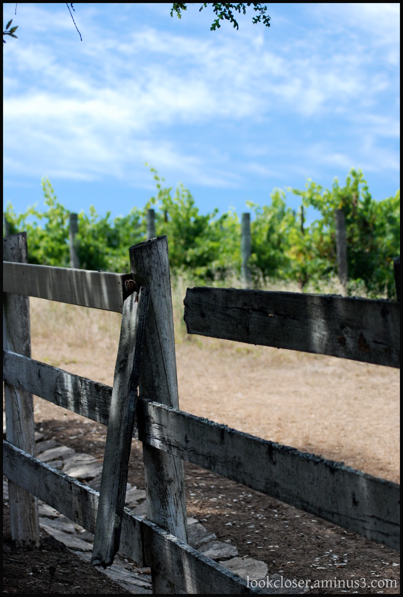 CA Sonoma Russian-River vineyard