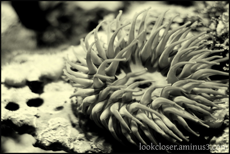 CA anemone aquarium animal