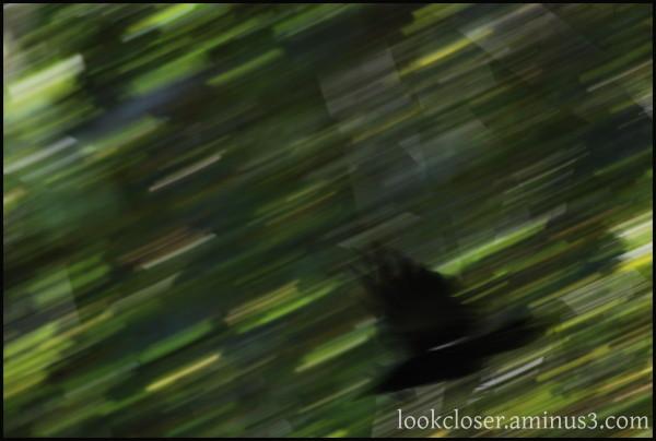 CA BigSur blackbird