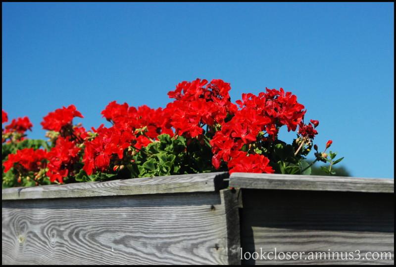 CapeCod Red Geraniums MA