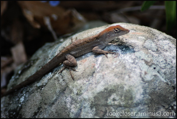 anole FL home