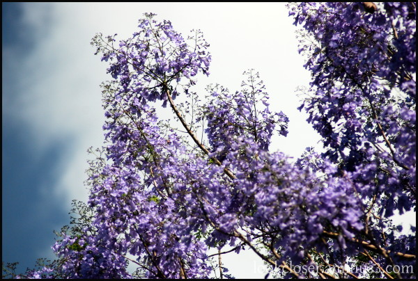jacaranda purple home FL